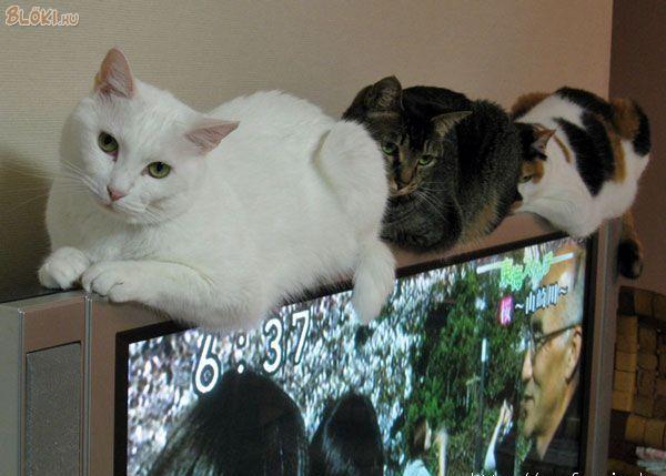 """Képtalálat a következőre: """"macska és a tv"""""""